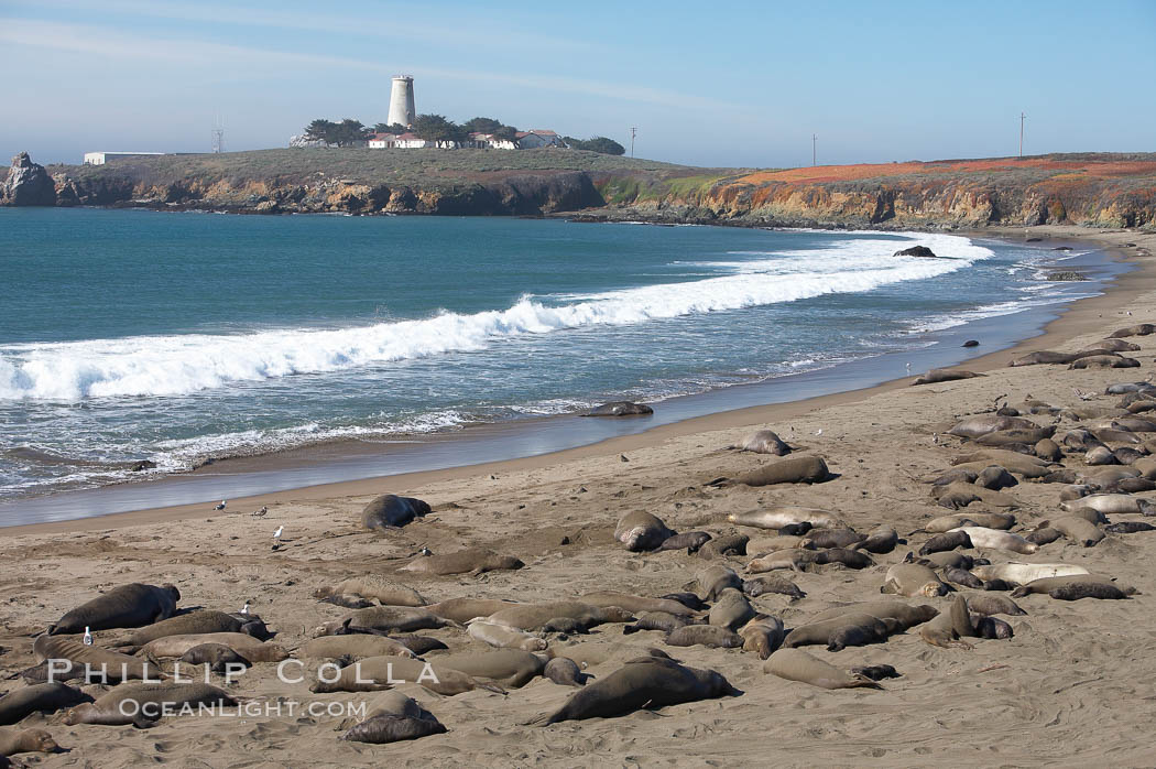 Elephant seals crowd a sand beach at the Piedras Blancas rookery near San Simeon.  The Piedras Blancas lighthouse is visible in upper left. California, USA, natural history stock photograph, photo id 20355