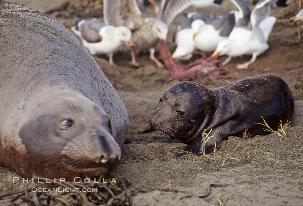 Northern elephant seal,  mother and neonate pup, gulls eating placenta, Mirounga angustirostris, Piedras Blancas, San Simeon, California