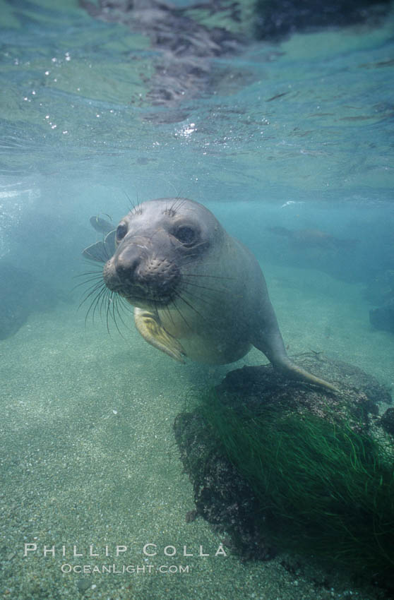 Northern elephant seal, San Benito Islands. San Benito Islands (Islas San Benito), Baja California, Mexico, Mirounga angustirostris, natural history stock photograph, photo id 00942