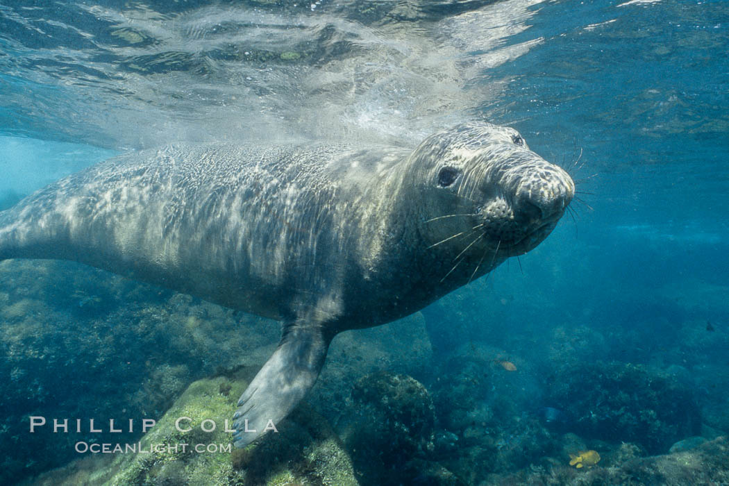 Northern elephant seal. Guadalupe Island (Isla Guadalupe), Baja California, Mexico, Mirounga angustirostris, natural history stock photograph, photo id 03508