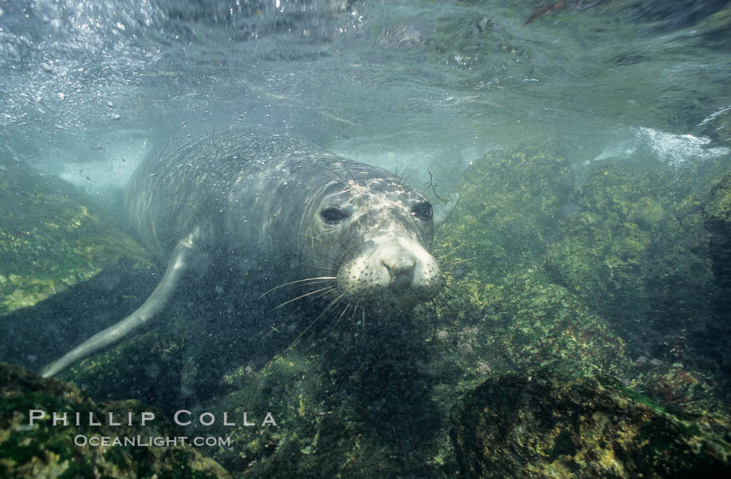 Northern elephant seal, underwater, San Benito Islands. San Benito Islands (Islas San Benito), Baja California, Mexico, Mirounga angustirostris, natural history stock photograph, photo id 10035