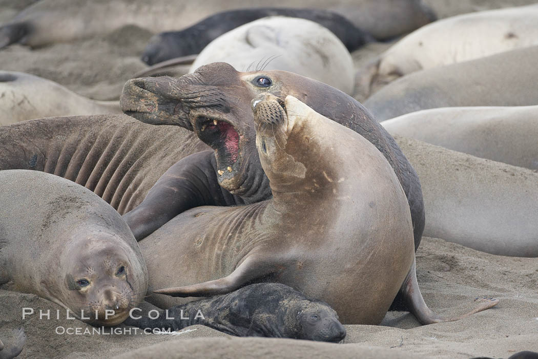 A bull elephant seal forceably mates (copulates) with a much smaller female, often biting her into submission and using his weight to keep her from fleeing.  Males may up to 5000 lbs, triple the size of females.  Sandy beach rookery, winter, Central California., Mirounga angustirostris,  Copyright Phillip Colla, image #20388, all rights reserved worldwide.