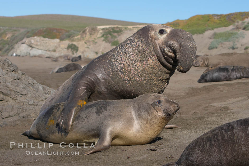 bull elephant seal forceably mates (copulates) with a much smaller ...
