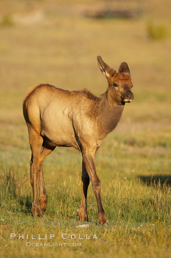 Juvenile elk in golden, late afternoon light, in meadow along Madison River, autumn. Yellowstone National Park, Wyoming, USA, Cervus canadensis, natural history stock photograph, photo id 19720