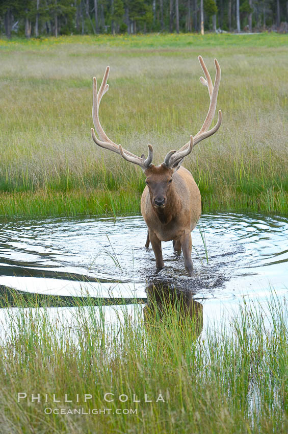 Image 13215, Elk in the Gibbon River. Gibbon Meadows, Yellowstone National Park, Wyoming, USA, Cervus canadensis