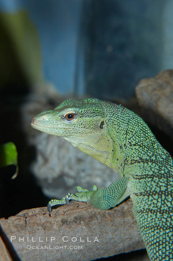 Emerald tree monitor lizard.  Arboreal, dwelling in trees in New Guinea jungles where it hunts birds and small mammals., Varanus prasinus prasinus, natural history stock photograph, photo id 12604