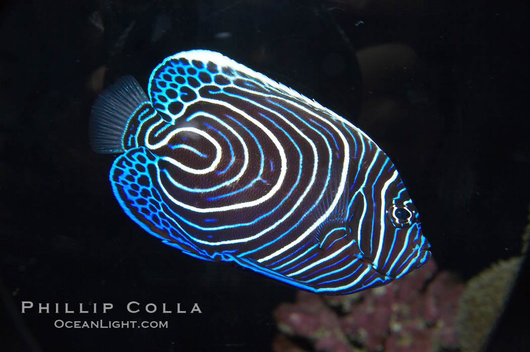 http://www.oceanlight.com/stock-photo/emperor-angelfish-pomacanthus-imperator-image-13742-990141.jpg