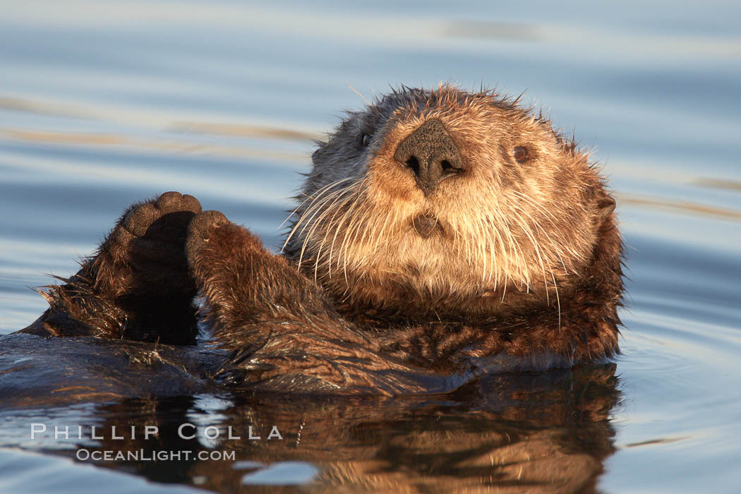 A sea otter, resting on its back, holding its paw out of the water for warmth.  While the sea otter has extremely dense fur on its body, the fur is less dense on its head, arms and paws so it will hold these out of the cold water to conserve body heat. Elkhorn Slough National Estuarine Research Reserve, Moss Landing, California, USA, Enhydra lutris, natural history stock photograph, photo id 21602