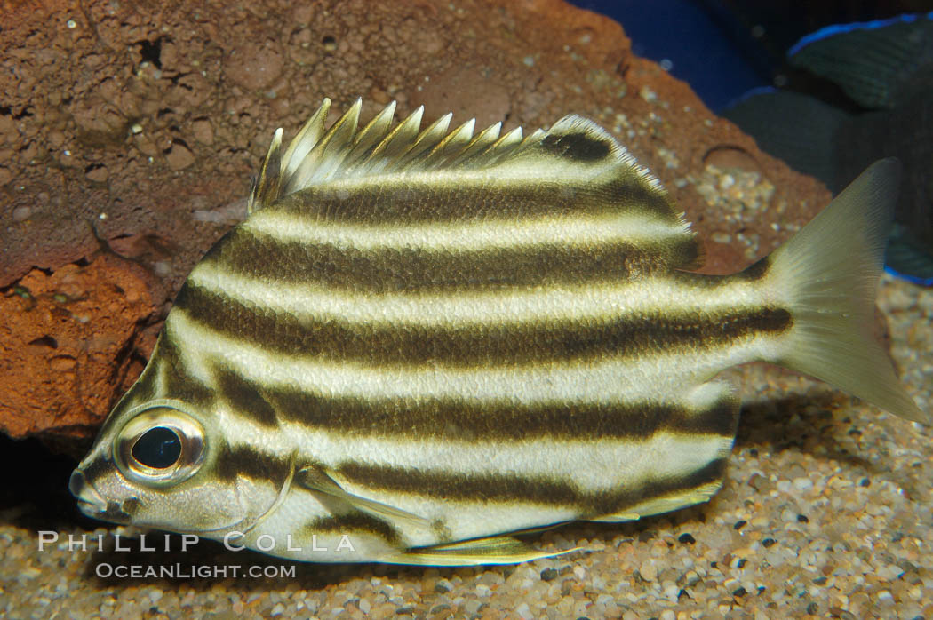 Old wife photo stock photograph of an old wife enoplosus for Old wife fish