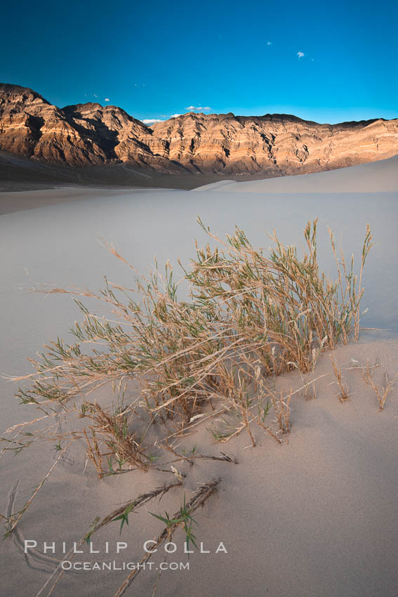 Eureka dune grass, and rare and federally endangered species of grass  endemic to the Eureka Valley and Eureka Sand Dunes.  The Last Chance mountains, lit by sunset, as visible in the distance.  Swallenia alexandrae, a perennial grass, grows only in the southern portion of Eureka Valley Sand Dunes, in Inyo County, California. Eureka Dunes, Death Valley National Park, California, USA, Swallenia alexandrae, natural history stock photograph, photo id 25358