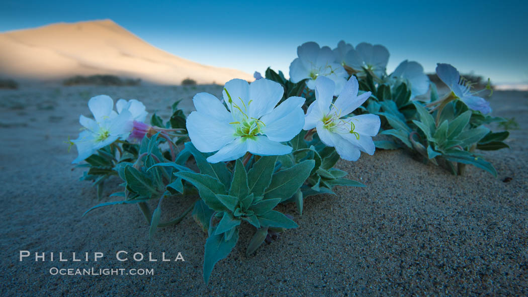 Eureka Valley Dune Evening Primrose.  A federally endangered plant, Oenothera californica eurekensis is a perennial herb that produces white flowers from April to June. These flowers turn red as they age. The Eureka Dunes evening-primrose is found only in the southern portion of Eureka Valley Sand Dunes system in Indigo County, California. Eureka Dunes, Death Valley National Park, California, USA, Oenothera californica eurekensis, natural history stock photograph, photo id 25268