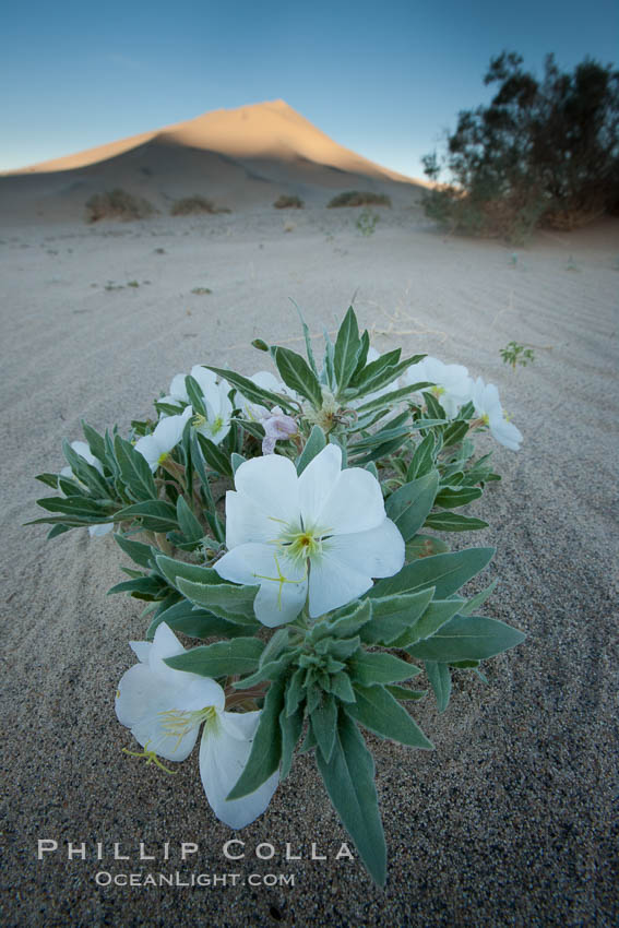 Eureka Valley Dune Evening Primrose.  A federally endangered plant, Oenothera californica eurekensis is a perennial herb that produces white flowers from April to June. These flowers turn red as they age. The Eureka Dunes evening-primrose is found only in the southern portion of Eureka Valley Sand Dunes system in Indigo County, California. Eureka Dunes, Death Valley National Park, California, USA, Oenothera californica eurekensis, natural history stock photograph, photo id 25237