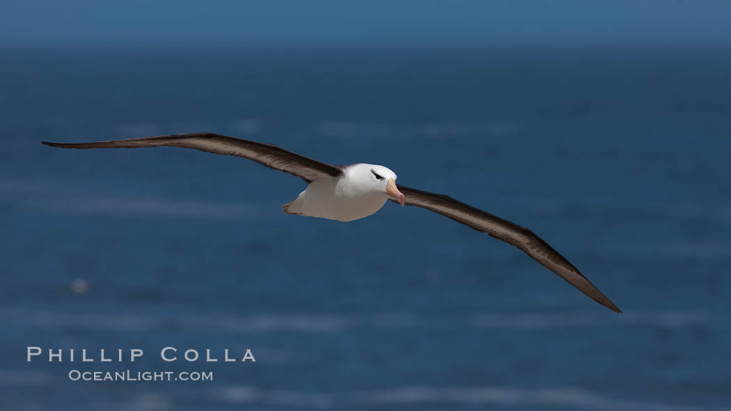 Black-browed albatross, in flight over the ocean.  The wingspan of the black-browed albatross can reach 10', it can weigh up to 10 lbs and live for as many as 70 years. Steeple Jason Island, Falkland Islands, United Kingdom, Thalassarche melanophrys, natural history stock photograph, photo id 24210