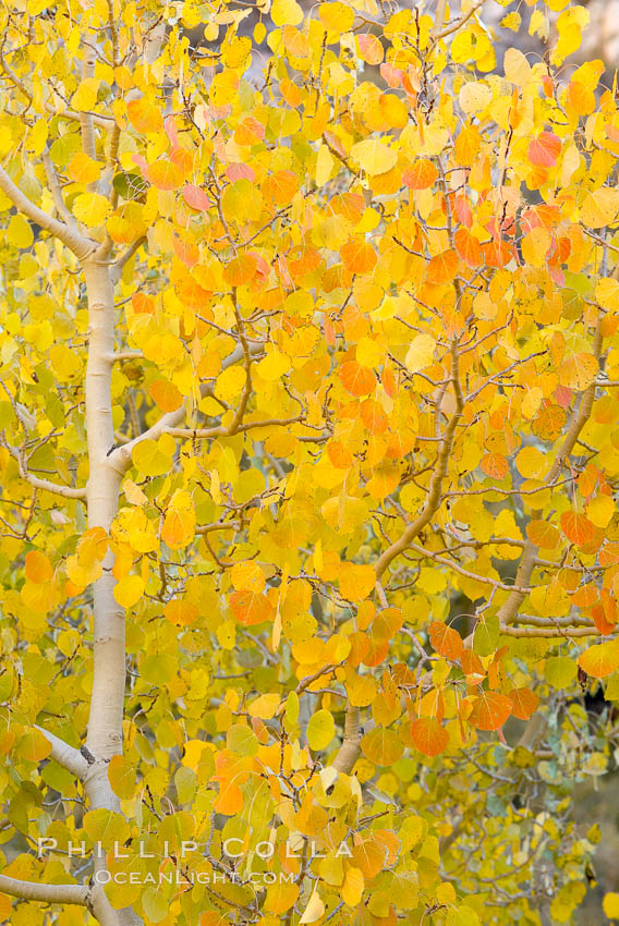 Aspen trees display Eastern Sierra fall colors, Lake Sabrina, Bishop Creek Canyon., Populus tremuloides,  Copyright Phillip Colla, image #17572, all rights reserved worldwide.