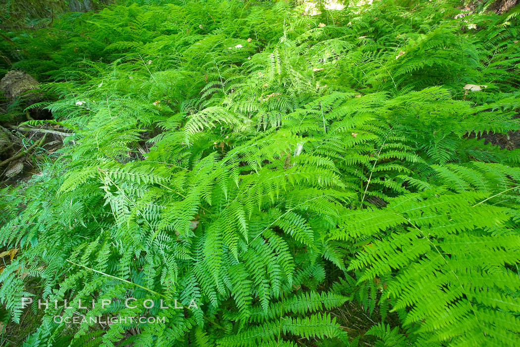 Image 21031, Ferns cover the forest floor of Cathedral Grove. Cathedral Grove, MacMillan Provincial Park, Vancouver Island, British Columbia, Canada