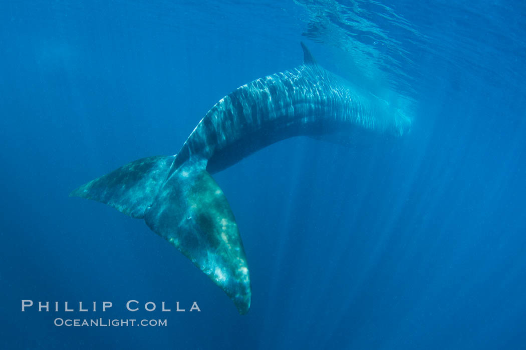 Fin whale underwater.  The fin whale is the second longest and sixth most massive animal ever, reaching lengths of 88 feet. La Jolla, California, USA, Balaenoptera physalus, natural history stock photograph, photo id 27116