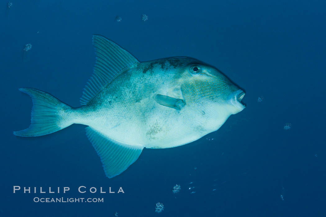 Finescale triggerfish underwater, Sea of Cortez, Baja California, Mexico. Sea of Cortez, Baja California, Mexico, Balistes polylepis, natural history stock photograph, photo id 27487