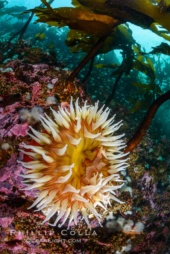 The Fish Eating Anemone Urticina piscivora, a large colorful anemone found on the rocky underwater reefs of Vancouver Island, British Columbia. Canada, Urticina piscivora, natural history stock photograph, photo id 34342