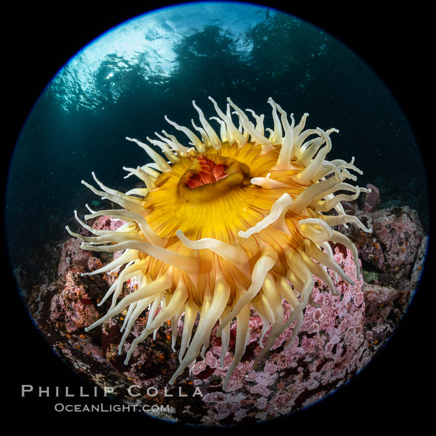 The Fish Eating Anemone Urticina piscivora, a large colorful anemone found on the rocky underwater reefs of Vancouver Island, British Columbia. Canada, Urticina piscivora, natural history stock photograph, photo id 35255
