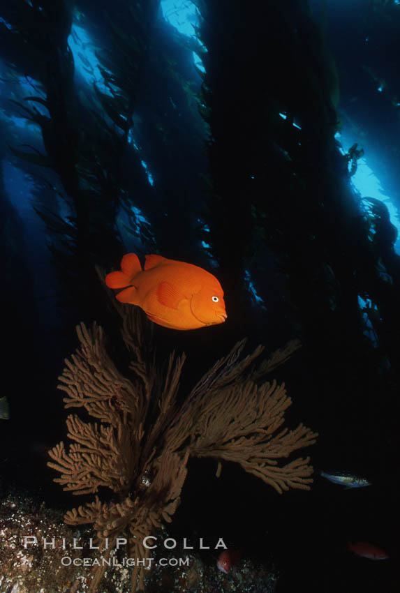 Garibaldi, kelp forest. San Clemente Island, California, USA, Hypsypops rubicundus, natural history stock photograph, photo id 05097