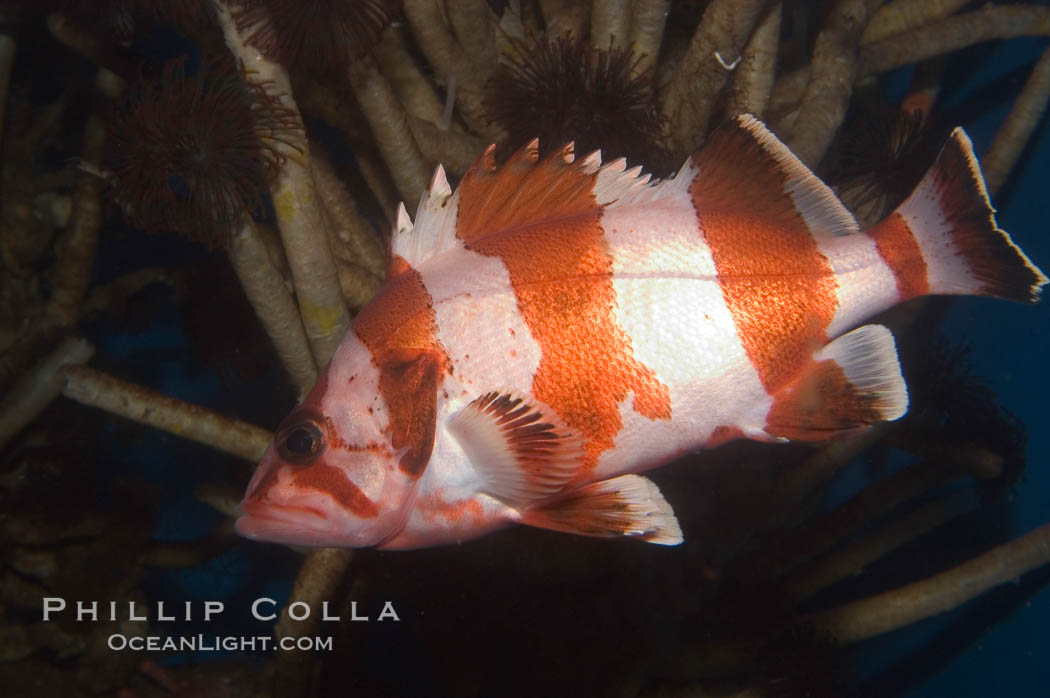 Flag rockfish., Sebastes rubrivinctus, natural history stock photograph, photo id 07866