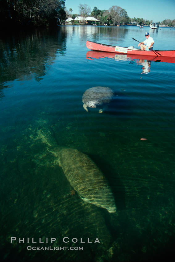 West Indian manatee and volunteer observer, Homosassa State Park. Homosassa River, Homosassa, Florida, USA, Trichechus manatus, natural history stock photograph, photo id 02791