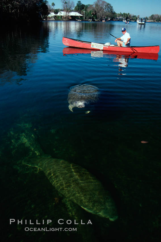 West Indian manatee and volunteer observer, Homosassa State Park. Homosassa River, Homosassa, Florida, USA, Trichechus manatus, natural history stock photograph, photo id 02793