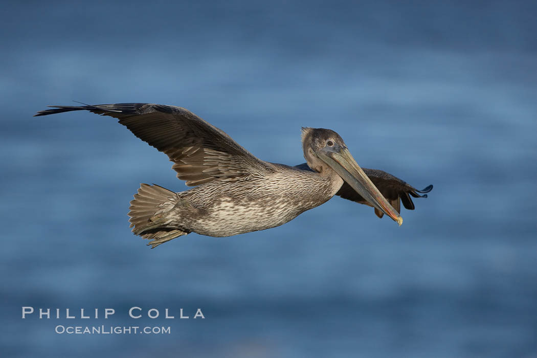 Juvenile California brown pelican in flight. Note its drab brown colors, it is not mature enough to assume the more colorful plumage of adults. The wingspan of the brown pelican is over 7 feet wide. The California race of the brown pelican holds endangered species status, Pelecanus occidentalis, Pelecanus occidentalis californicus, La Jolla