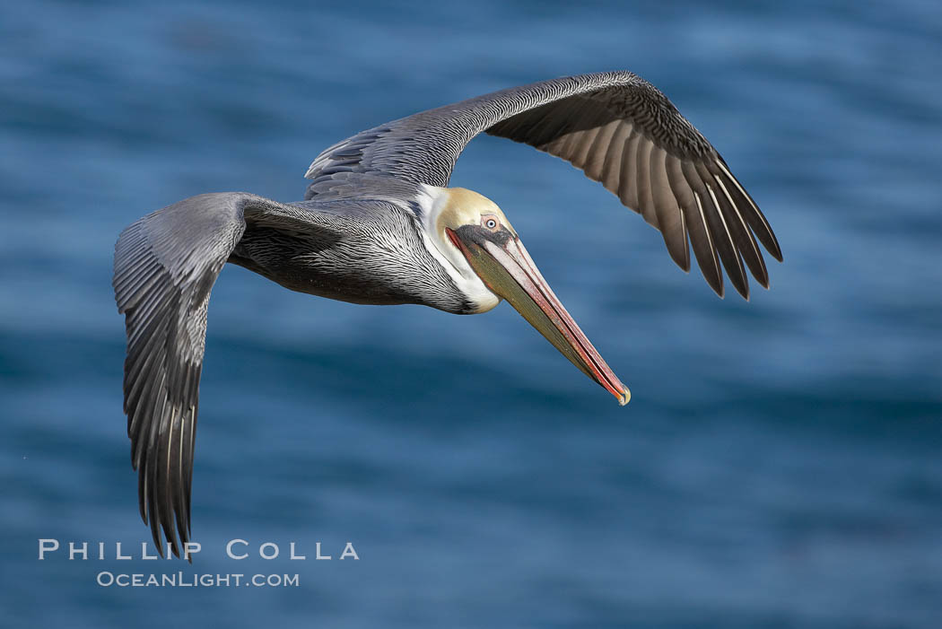 California brown pelican in flight, soaring over the ocean with its huge wings outstretched.  The wingspan of the brown pelican can be over 7 feet wide. The California race of the brown pelican holds endangered species status., Pelecanus occidentalis, Pelecanus occidentalis californicus,  Copyright Phillip Colla, image #20012, all rights reserved worldwide.