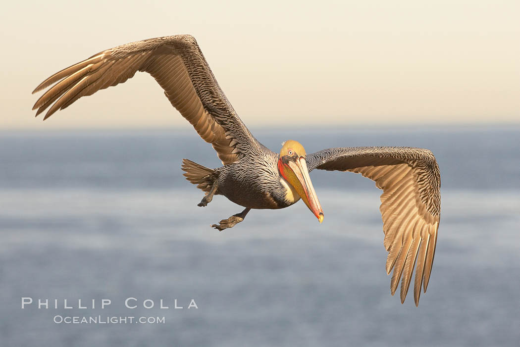 Brown pelican in flight.  The wingspan of the brown pelican is over 7 feet wide. The California race of the brown pelican holds endangered species status.  In winter months, breeding adults assume a dramatic plumage., Pelecanus occidentalis, Pelecanus occidentalis californicus,  Copyright Phillip Colla, image #20051, all rights reserved worldwide.