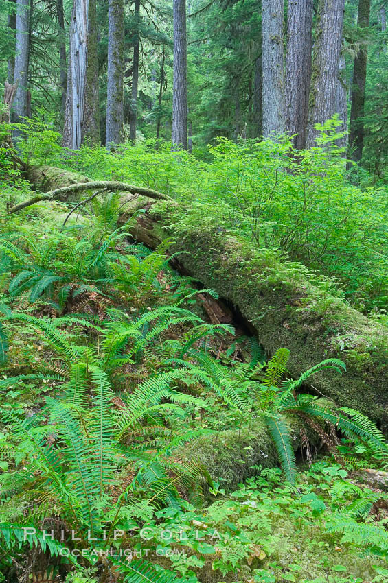 A fallen tree serves as a nurse log for new growth in an old growth forest of douglas firs and hemlocks, with forest floor carpeted in ferns and mosses.  Sol Duc Springs. Sol Duc Springs, Olympic National Park, Washington, USA, natural history stock photograph, photo id 13755