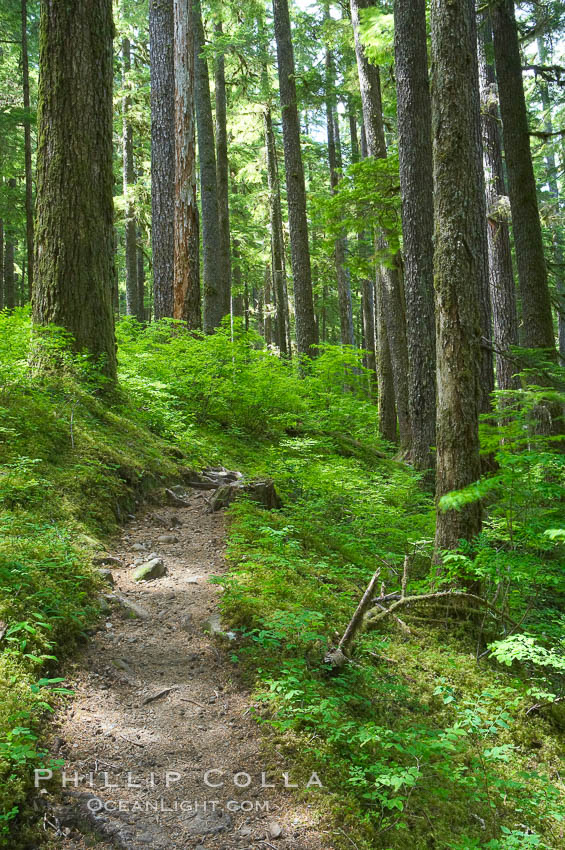 A hiking path leads through old growth forest of douglas firs and hemlocks, with forest floor carpeted in ferns and mosses.  Sol Duc Springs. Olympic National Park, Washington, USA, natural history stock photograph, photo id 13753