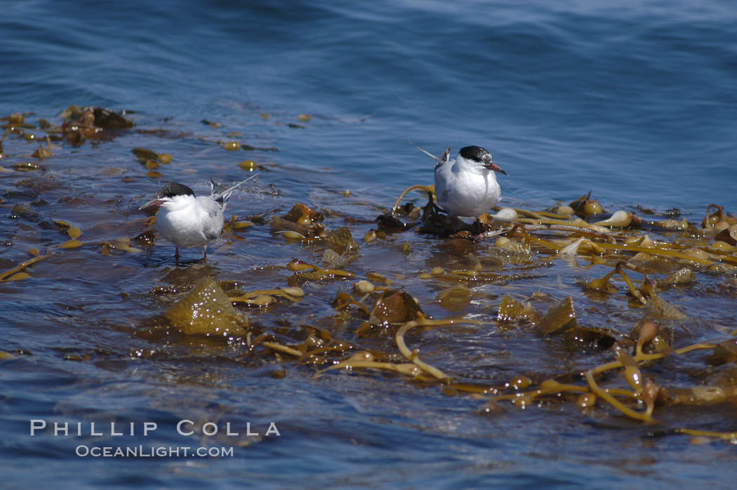 Forsters terns rest on a drift kelp paddy.  Drifting patches or pieces of kelp provide valuable rest places for birds, especially those that are unable to land and take off from the ocean surface.  Open ocean near San Diego. San Diego, California, USA, Sterna forsteri, Macrocystis pyrifera, natural history stock photograph, photo id 07514