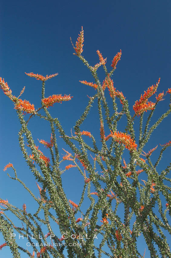 Image 09166, Flower detail on a blooming Ocotillo, springtime. Joshua Tree National Park, California, USA, Fouquieria splendens
