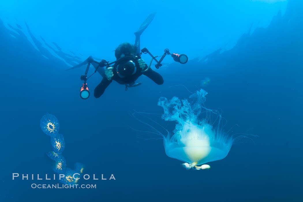 Freediver photographing pelagic gelatinous zooplankton, adrift in the open ocean. San Diego, California, USA, Phacellophora camtschatica, natural history stock photograph, photo id 26829