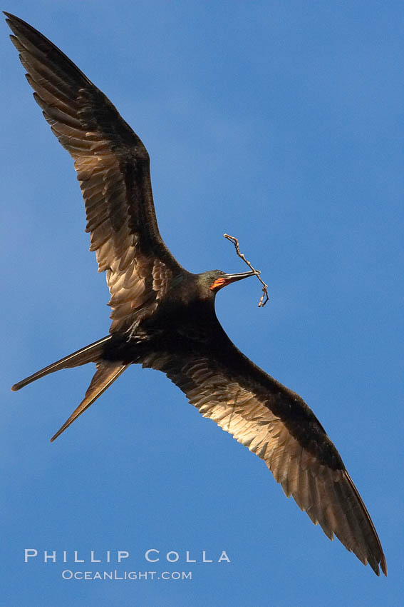 Great frigatebird, adult male, in flight, carrying twig for nest building, green iridescence of scapular feathers identifying species.  Wolf Island. Wolf Island, Galapagos Islands, Ecuador, Fregata minor, natural history stock photograph, photo id 16708