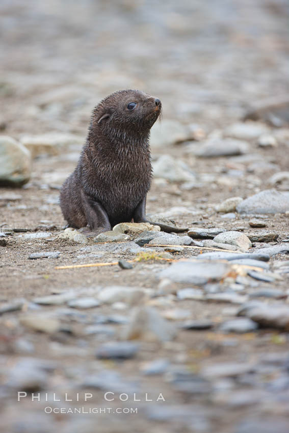 Antarctic fur seal, young pup, juvenile. Fortuna Bay, South Georgia Island, Arctocephalus gazella, natural history stock photograph, photo id 24626
