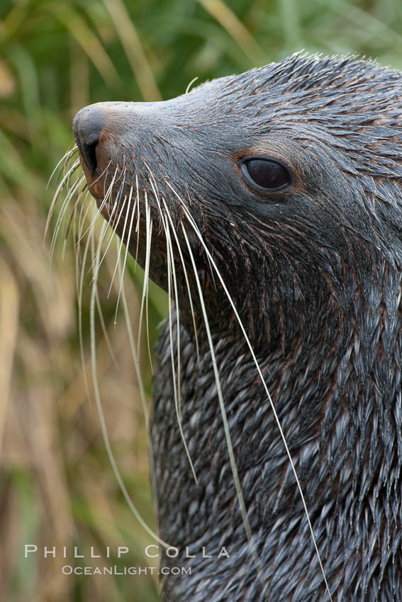 Image 24624, Antarctic fur seal, adult male (bull), showing distinctive pointed snout and long whiskers that are typical of many fur seal species. Fortuna Bay, South Georgia Island, Arctocephalus gazella