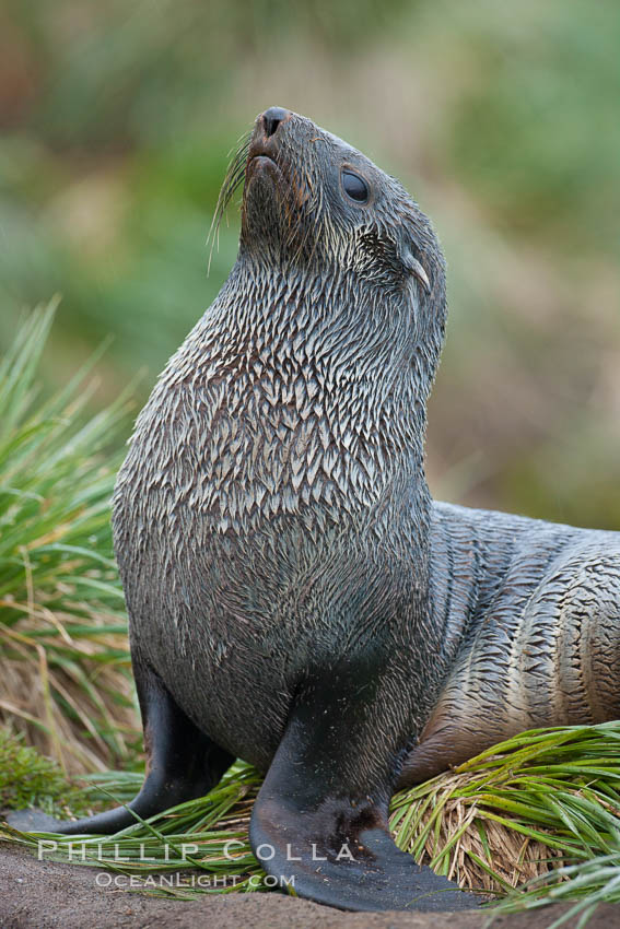 Antarctic fur seal. Fortuna Bay, South Georgia Island, Arctocephalus gazella, natural history stock photograph, photo id 24628