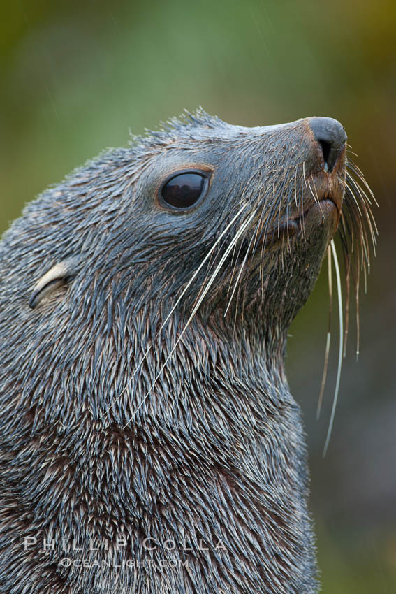 Antarctic fur seal, adult male (bull), showing distinctive pointed snout and long whiskers that are typical of many fur seal species.  The long whiskers are exceptionally sensitive and are believed to help the fur seal find food in the ocean by sensing vibration and movement of nearby fish and squid, Arctocephalus gazella, Fortuna Bay