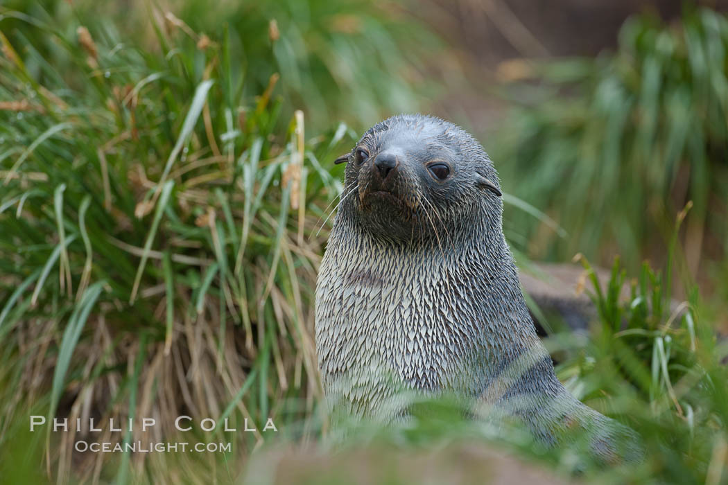 Antarctic fur seal on tussock grass. Fortuna Bay, South Georgia Island, Arctocephalus gazella, natural history stock photograph, photo id 24627