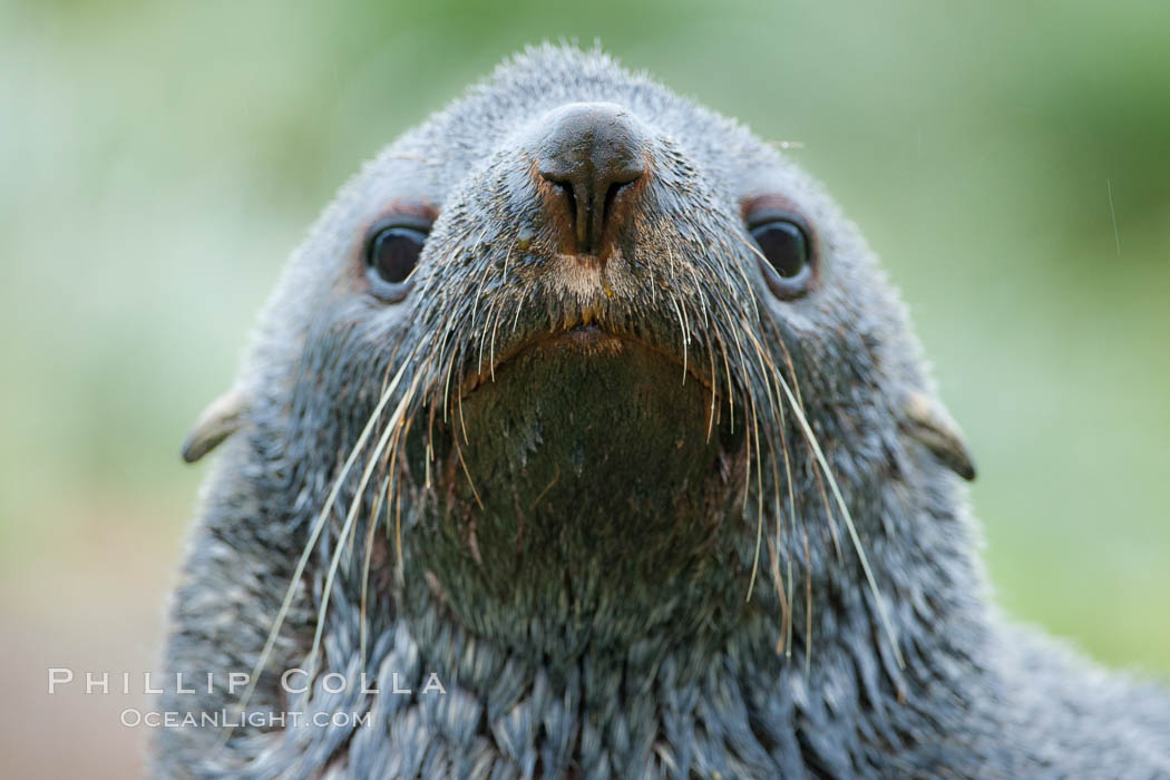 Antarctic fur seal, adult male (bull), showing distinctive pointed snout and long whiskers that are typical of many fur seal species. Fortuna Bay, South Georgia Island, Arctocephalus gazella, natural history stock photograph, photo id 24633