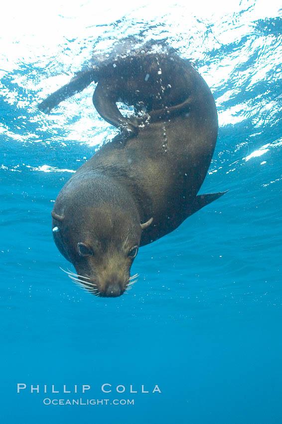 Galapagos fur seal,  Darwin Island. Darwin Island, Galapagos Islands, Ecuador, Arctocephalus galapagoensis, natural history stock photograph, photo id 16314