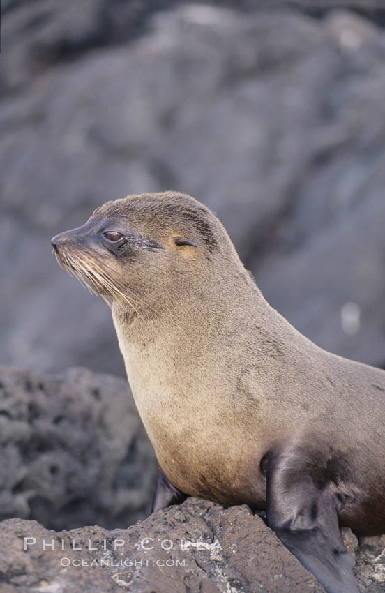 Galapagos fur seal. James Island, Galapagos Islands, Ecuador, Arctocephalus galapagoensis, natural history stock photograph, photo id 02244
