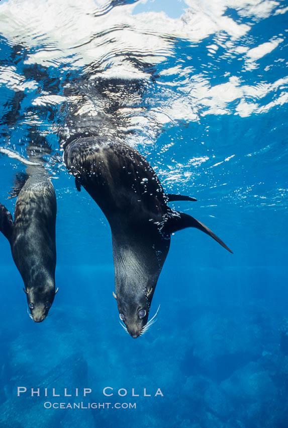 Galapagos fur seal. Darwin Island, Galapagos Islands, Ecuador, Arctocephalus galapagoensis, natural history stock photograph, photo id 01573
