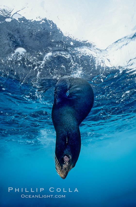 Galapagos fur seal. Wolf Island, Galapagos Islands, Ecuador, Arctocephalus galapagoensis, natural history stock photograph, photo id 01593