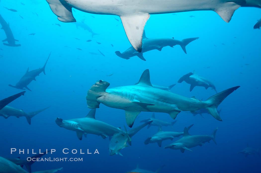 Hammerhead sharks, schooling. Wolf Island, Galapagos Islands, Ecuador, Sphyrna lewini, natural history stock photograph, photo id 16286