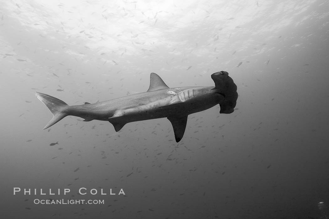Scalloped hammerhead shark, black and white / grainy. Wolf Island, Galapagos Islands, Ecuador, Sphyrna lewini, natural history stock photograph, photo id 16275