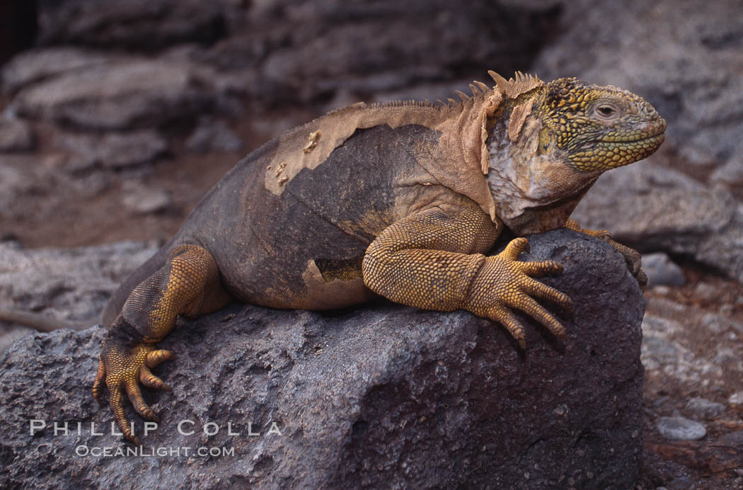 Galapagos land iguana. South Plaza Island, Galapagos Islands, Ecuador, Conolophus subcristatus, natural history stock photograph, photo id 01744