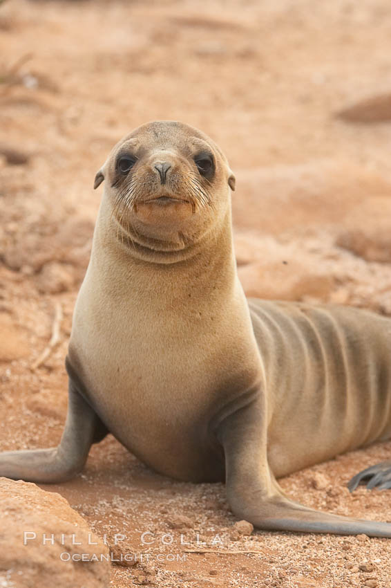Galapagos sea lion pup., Zalophus californianus wollebacki, Zalophus californianus wollebaeki,  Copyright Phillip Colla, image #16506, all rights reserved worldwide.
